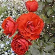 Trumpeter is a Floribunda rose.  It is a small, compact, upright shrub with attractive, dark-green, shiny leaves and in summer and autumn, bears large clusters of double, orange-red flowers. Rosa Trumpeter added by Shoot)