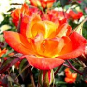 Warm Welcome is a Climbing rose.  It is semi-evergreen, with shiny, dark-green leaves that are bronze-tinted when new.  In summer and autumn, it bears clusters of fragrant, semi-double, bright orange-red flowers. Rosa Warm Welcome added by Shoot)