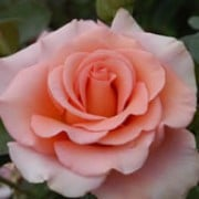 Warm Wishes is a Hybrid Tea rose.  It is a small, compact shrub with dark-green, shiny leaves and in summer and autumn, bears fragrant, double, pale coral coloured flowers. Rosa Warm Wishes added by Shoot)