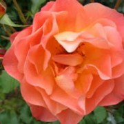 Westerland is a Shrub rose.  It is a vigorous, upright shrub whose leaves are bonze-tinted when new.  In summer and autumn, it bears clusters of fragrant, semi-double, orange flowers that are yellow on the undersides of the petals. Rosa Westerland added by Shoot)