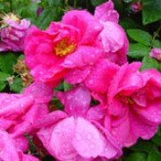 Wiltshire is a Shrub rose.  It is a low-growing, spreading shrub with shiny, dark-green leaves and in summer and autumn, bears large clusters of double, dark-pink flowers. Rosa Wiltshire added by Shoot)