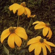 'Herbstsonne' is a tall perennial, bearing single, gold-yellow ray floret flowerss and with a dark-yellow disk. Rudbeckia 'Herbstsonne' added by Shoot)