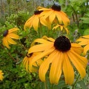 Rudbeckia fulgida var sullivantii 'Goldsturm' added by Shoot)