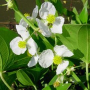 Sagittaria latifolia added by Shoot)