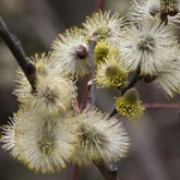 Salix caprea added by Shoot)