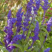 'Rhea'  is an upright perennial, often grown as an annual, with leaves whitish-hairy beneath, and spikes of violet-blue flowers in summer and autumn. Salvia farinacea 'Rhea' added by Shoot)