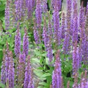 'Ostfriesland' is an upright, compact perennial with ovate leaves and deep violet-blue flowers with pink bracts in summer and autumn. Salvia nemorosa 'Ostfriesland' added by Shoot)
