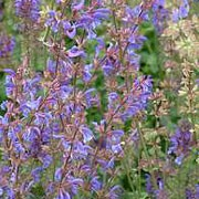 Haematodes Group are clump-forming, herbaceous perennials with aromatic, dark-green, ovate leaves and sprays of light violet-blue flowers in summer. Salvia pratensis Haematodes Group added by Shoot)