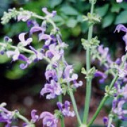 Salvia transsylvanica added by Shoot)