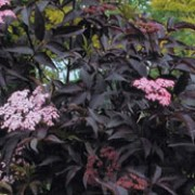 'Black Lace' is a large, deciduous shrub or small tree with finely cut, almost black foliage turning deep red in autumn and pink, flat flowerheads in summer. Sambucus nigra 'Black Lace' added by Shoot)