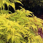 'Sutherland Gold' has attractive bright golden-yellow, pinnate leaves and small heads of creamy-white flowers followed by glossy red berries. Sambucus racemosa 'Sutherland Gold' added by Shoot)