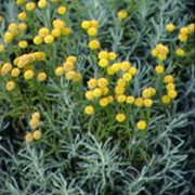 S. chamaecyparissus var. nana is a dwarf, evergreen shrub with compact, aromatic, grey-green foliage and yellow flowers in summer. Santolina chamaecyparissus var. nana added by Shoot)