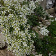 Saxifraga callosa added by Shoot)