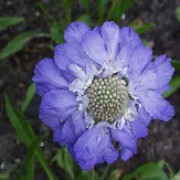 'Perfecta Blue' is a clump-forming perennial with entire basal leaves and pale-centred lavender-blue flowers on erect stems in summer. Scabiosa caucasica 'Perfecta Blue' added by Shoot)