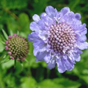 Scabiosa columbaria added by Shoot)