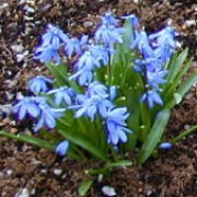 Scilla siberica added by Shoot)