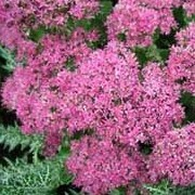 Sedum spectabile 'Brilliant' added by Shoot)