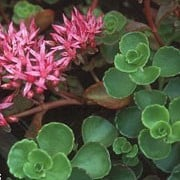 'Schorbuser Blut' is a low, mat-forming, evergreen perennial with fleshly leaves that have scalloped, purple-tinted margins.  In late-summer, it bears low clusters of deep-pink, star shaped flowers with prominent stamens. Sedum spurium 'Schorbuser Blut' added by Shoot)