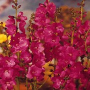 Perennials - Brilliant Miniature Hollyhock