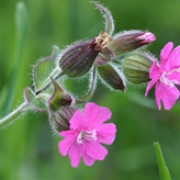 Silene dioica added by Shoot)