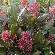 'Rubella' is a small, male variety with dark-green leaves edged in red and attractive flower buds, which appear in autumn and winter, opening into scented flowers in spring. It is suitable for containers and provides good all year round colour. Skimmia japonica 'Rubella' added by Shoot)
