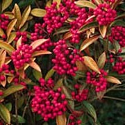 Skimmia japonica subsp. reevesiana 'Chilan Choice' added by Shoot)