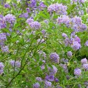 Solanum crispum 'Glasnevin' added by Shoot)