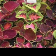 'Rainbow Mix' is a clump-forming, woody, evergreen perennial with dark purple foliage with crimson veins and a broad green margin. Solenostemon 'Rainbow Mix' added by Shoot)