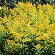 Solidago 'Goldenmosa' added by Shoot)