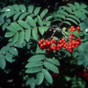 Sorbus aucuparia added by Shoot)