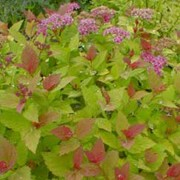 'Magic Carpet' is a deciduous shrub with bright yellow leaves, tinted red when young. Clusters of pink flowers are produced in late summer. Spiraea japonica 'Magic Carpet' added by Shoot)