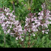 Syringa pubescens subsp. patula 'Miss Kim' added by Shoot)