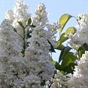 Syringa vulgaris 'Madame Lemoine' added by Shoot)