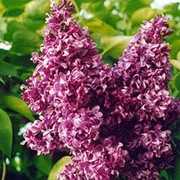 Syringa vulgaris 'Mrs Edward Harding' added by Shoot)