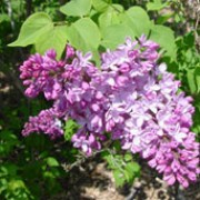 Syringa x hyacinthiflora 'Esther Staley' added by Shoot)