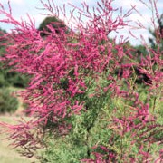 Tamarix ramosissima 'Rubra' added by Shoot)