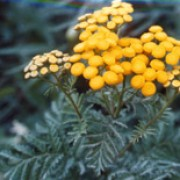 Tanacetum vulgare added by Shoot)