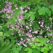 Thalictrum delavayi added by Shoot)