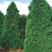 Thuja occidentalis 'Holmstrup' added by Shoot)