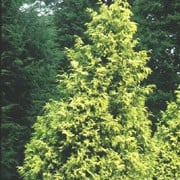 T. plicata 'Irish Gold' is a medium-sized, evergreen conifer with a neat, conical habit.  Foliage is green with yellow markings and gently drooping. Thuja plicata 'Irish Gold' added by Shoot)