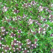 'Magic Carpet' is a dense, mat-forming perennial with scented, deep-green foliage and purple-pink flowers in the summer. Thymus serpyllum 'Magic Carpet'  added by Shoot)