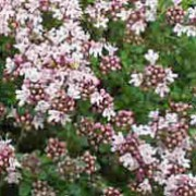 'Pink Chintz' is a low mat-forming evergreen shrub with small, aromatic, dark green leaves and masses of light-pink flowers in summer. Thymus serpyllum 'Pink Chintz' added by Shoot)