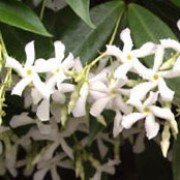 T. jasminoides is a fast-growing climber with glossy dark green, oval leaves often turning deep red in winter, and clusters of very fragrant white flowers. Trachelospermum jasminoides added by Shoot)