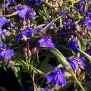 'Isis' forms dense clumps of arching leaves and small clusters of deep violet-blue flowers. Tradescantia Andersoniana Group 'Isis' added by Shoot)