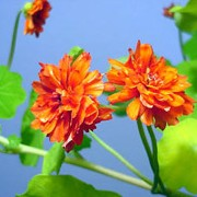 Tropaeolum majus 'Hermine Grashoff' added by Shoot)