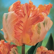 'Apricot Parrot' is a perennial bulb with grey-green leaves and solitary, ruffled apricot-yellow flowers flushed with pink in spring. Tulipa 'Apricot Parrot' added by Shoot)