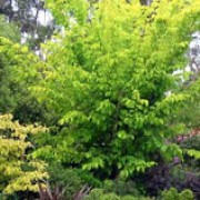 'Dampieri Aurea' is a small, columnar tree with upright branches and golden yellow foliage all summer long. Ulmus minor 'Dampieri Aurea' added by Shoot)