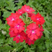 'Babylon Red' is a small, compact annual with bright-red flowers in summer. Verbena 'Babylon Red' added by Shoot)