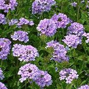 'La France' is a low, mound-forming perennial with small deep green leaves and round heads of violet-blue flowers in summer and autumn. Verbena 'La France' added by Shoot)