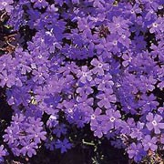 'Moon River' is a bedding plant with a bushy, spreading habit.  It has disected leaves and produces purple flowers from summer through to autumn.  Verbena 'Moon River' added by Shoot)